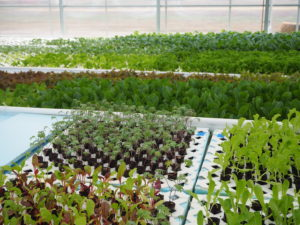 Seedlings for the community garden take root in the greenhouse.